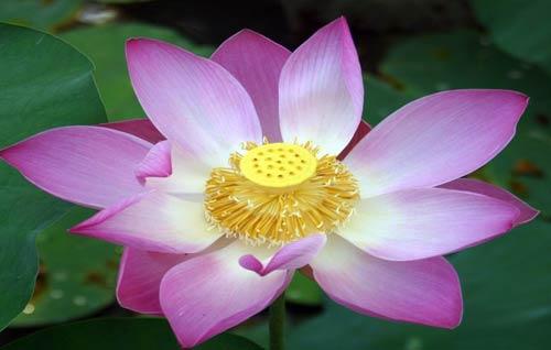bali-lotus1